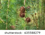 beautiful larch cones and... | Shutterstock . vector #635588279