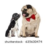 Small photo of Pug with bow tie looking at a chihuahua, isolated on white