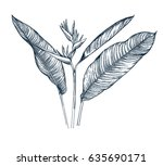 strelitzia. tropical collection.... | Shutterstock .eps vector #635690171