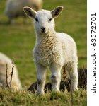 Spring Welsh Lamb