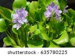 closeup of flowering water... | Shutterstock . vector #635780225