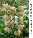 Small photo of Acineta antioquiae orchid, family Orchidaceae.