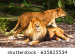 Stock photo lion with lioness lion family 635825534