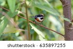 Small photo of Black-throated bushtit, (Aegithalos concinnus ) on the branch ,Northern of Thailand
