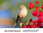 Northern Mocking Bird Perches...