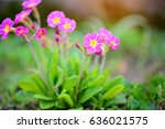 Spring Flowers Of Primula...