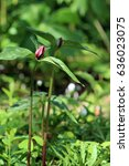 Small photo of Two purple trillium in the forest sunlight