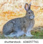 Small photo of Alaskan Hare