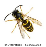 wasp isolated on white... | Shutterstock . vector #636061085