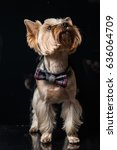 yorkshire terrier on a black... | Shutterstock . vector #636064709