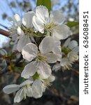 Blooming Cherry  Prunus Cerasus