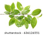 Branch With Green Foliage...