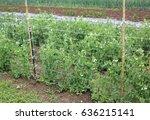 organic farming  green plant of ...   Shutterstock . vector #636215141