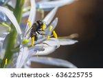orchard mason bee  osmia... | Shutterstock . vector #636225755