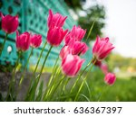beautiful view of pink tulips... | Shutterstock . vector #636367397