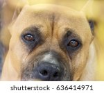 amstaff dog head close up eyes... | Shutterstock . vector #636414971