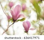 Beautiful Close Up Magnolia...