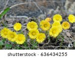 Yellow Flowers. Tussilago...