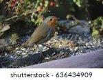 european robin  erithacus...   Shutterstock . vector #636434909