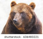 grizzly bear with a warm fur ... | Shutterstock . vector #636483221
