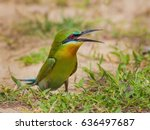 blue tailed bee eater  merops... | Shutterstock . vector #636497687
