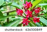 beautiful pink flowers. koh...   Shutterstock . vector #636500849