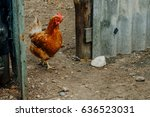 ginger hen comes from poultry... | Shutterstock . vector #636523031