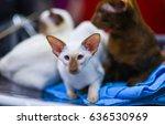 cute shorthair oriental cat ... | Shutterstock . vector #636530969