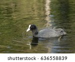 coot   fulica atra  over the... | Shutterstock . vector #636558839