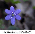 snowdrop  hepatica nobilis ... | Shutterstock . vector #636607669