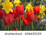 Yellow Daffodils And Red Tulips