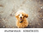 brown funny poodle puppy... | Shutterstock . vector #636656101