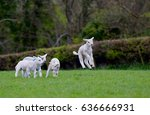 lambs jumping for joy.  | Shutterstock . vector #636666931