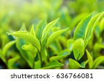 Stock photo green tea bud and fresh black tea leaves close up tea plantations fields in nuwara eliya sri lanka 636766081