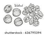 walnuts set. ink sketch of nuts.... | Shutterstock .eps vector #636795394