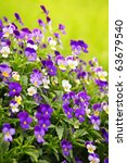 Flowering Purple Pansies In Th...