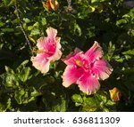 carmine  pink suffused with...   Shutterstock . vector #636811309