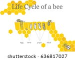 life cycle of a bee | Shutterstock .eps vector #636817027