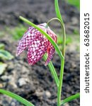 Snake\'s Head Fritillary Flower...