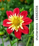 Bright Red And Yellow Anemone...
