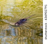 Small photo of Black coypu on a pond in the park .