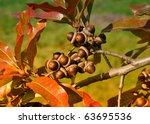 Oak   Laurel Oak  Quercus...