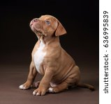Small photo of Cute American Pit Bull Terrier puppy on a brown background