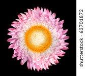 Blossoming Strawflower Helichrysum bracteatum Isolated on Black Background - stock photo
