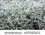 Close Up Of Fresh Rosemary Herb