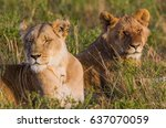 a a couple of lions resting in... | Shutterstock . vector #637070059