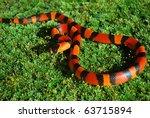 young tangerine milk snake   Shutterstock . vector #63715894