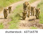 Lioness Walking Her Five Cubs...