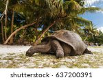 Giant Turtles On Curieuse...