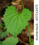 Small photo of Alliaria petiolata Garlic Mustard Garlic root leaf